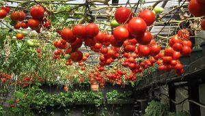 کاشت گوجه فرنگی در خانه