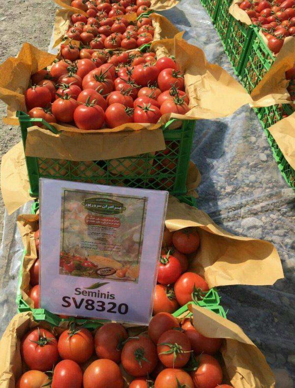 بذر گوجه فرنگی 8320 2