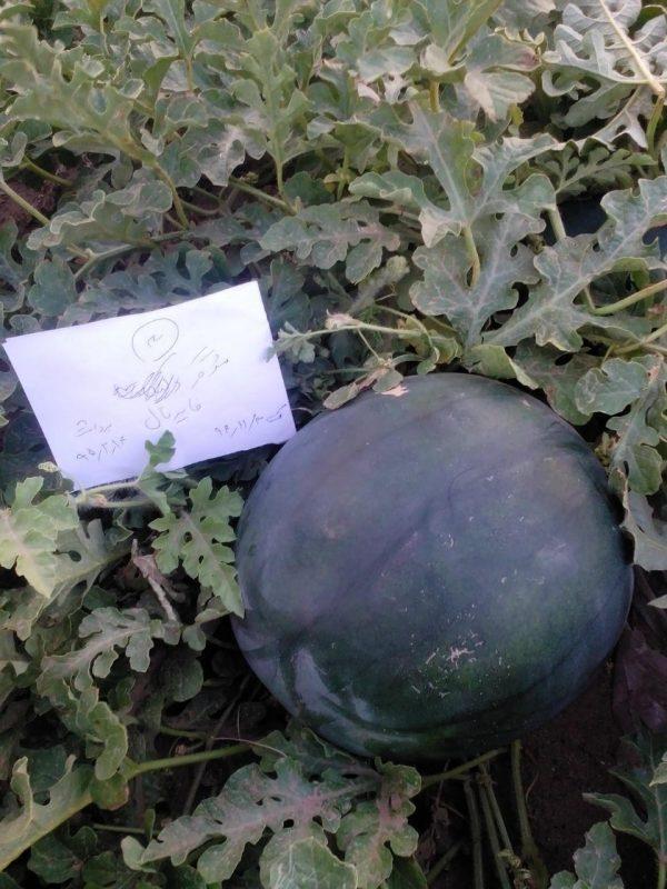بذر هندوانه هیبرید (شوگر بیبی )فایر بال ساکاتا2