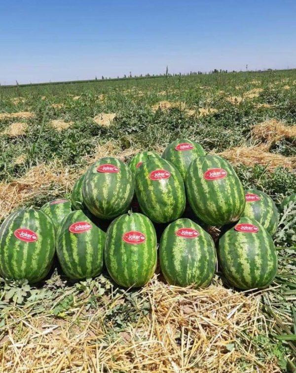 بذر هندوانه هیبرید جوکر