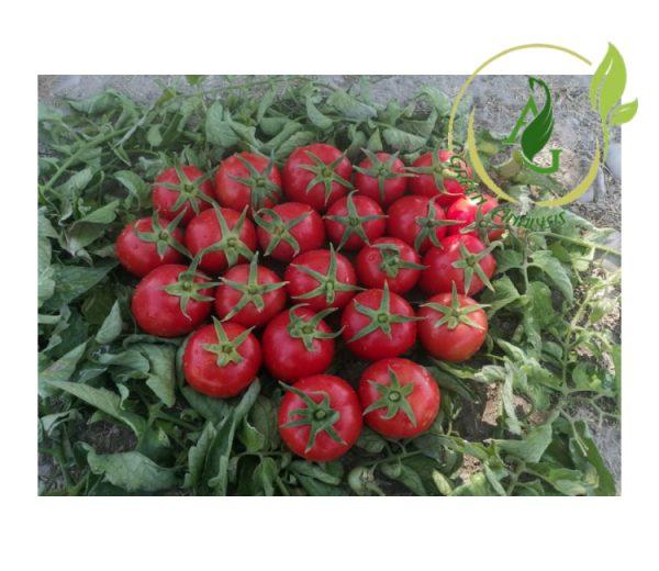 بذر گوجه فرنگی clx38122